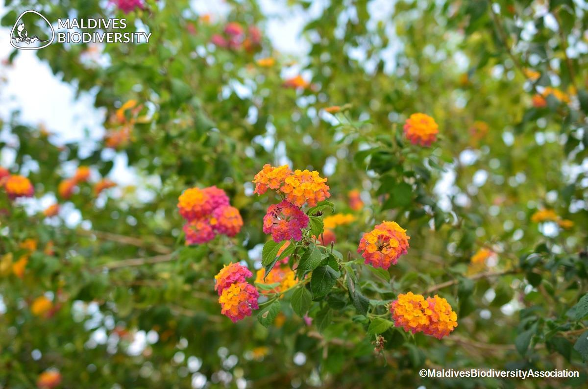 Lantana Camara Maldives Biodiversity Association